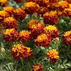 Выращивание бархатцев: красивый цветник без особого труда