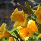 Лилейник – красивое многолетнее травянистое растение