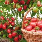 Народные средства для подкормки помидоров – самые лучшие рецепты