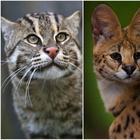 Необыкновенные кошки в дикой природе