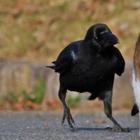 Вороны - самые наглые существа животного мира
