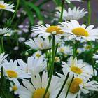 Ромашка садовая крупная многолетняя: посадка и уход