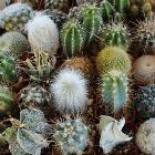 Обзор видов домашних кактусов с названиями на русском и фото