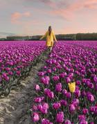 Фотографии из Нидерландов в сезон цветения 7 миллионов тюльпанов