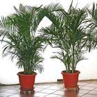Финиковая пальма из косточки в домашних условиях