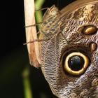 Самая ядовитая бабочка в мире