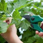 Зеленое черенкование – самый простой способ размножить ягодные кустарники