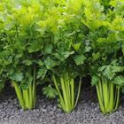 Сельдерей: посев семян, рассада и посадка в грядку