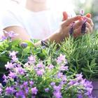 8 великолепных пряных трав для фиолетового сада