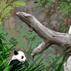 Загадка дня: сколько милых панд спряталось на картинке?