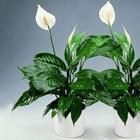 Цветок спатифиллум: правила ухода в домашних условиях