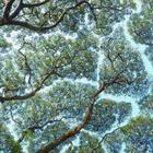 Феномен, когда кроны деревьев не касаются друг друга, удивляет даже ученых