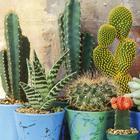 Как поливать кактусы, чтобы добиться цветения и красивой формы растений