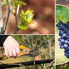 Чем подкормить виноград осенью перед обрезкой и укрытием