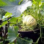 Выращиваем тыкву в бочке
