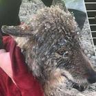 Ошибочка вышла: эстонцы спасли из ледяной реки собаку, а она оказалась волком