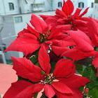 Пуансеттия прекраснейшая: выращивание, уход в домашних условиях