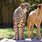 Про дружбу кошек с собаками