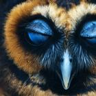 Милейшие совы, поражающие своей неземной красотой