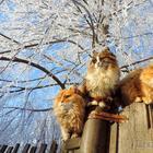 Кошландия — огромная семья сибирских кошек, живущая в Барнауле