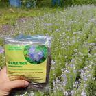Улучшение плодородия почвы с помощью сидерата Фацелии, когда сеять и срезать