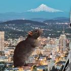 Пять центов за крысу, или Как одна хрупкая женщина спасла весь Портленд от чумы