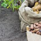 Лучшие сорта картофеля для различных регионов