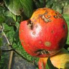 Яблоки гниют прямо на дереве – в чем причина, и что нужно делать