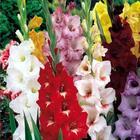 Посадка гладиолусов весной когда и как посадить