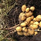 3 лучших сидерата под картофель осенью