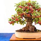 Миниатюрные фруктовые деревья-бонсай