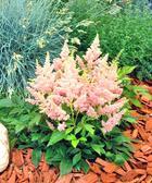 Неприхотливый многолетник астильба хорошо растет в открытом грунте