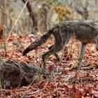 Волк с пластиковой бутылкой на голове: случайный кадр фотографа спас животное от мучительной смерти