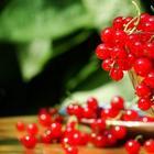 Галловая тля на смородине: чем лечить?