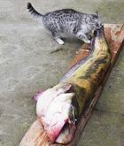 16 самых ловких и хитрых котов, пойманных с поличным на месте преступления