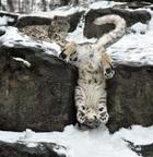 Хозяин гор: 20 очаровательных фотографий величественных снежных барсов