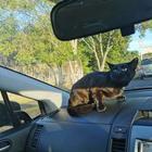 Кот пробрался в машину и внезапно возник во время обычной поездки в школу