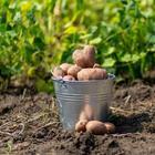 Дачников начнут штрафовать за «неправильную» картошку для посадки