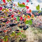 7 ягодных кустарников, которые можно посадить за забором