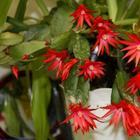Декабрист (зигокактус): технология выращивания рождественского цветка из Американских джунглей в домашних условиях