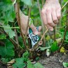 3 правила осенней обрезки черной смородины, чтобы потом получить хороший урожай