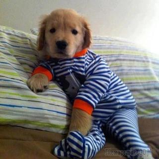 Смешные и очаровательные собаки в пижамках, которые сделают ваш день