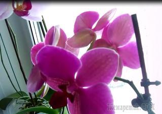 Орхидея Фаленопсис и загадочный цветок