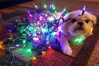 Собаки в ожидании Нового года