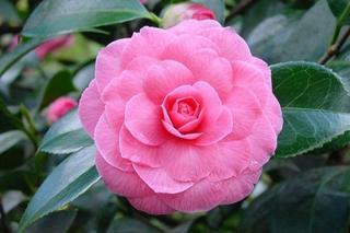 Японская камелия: характеристика растения и рекомендации по уходу в домашних условиях