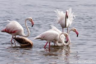 Фламинго - это такие птичьи грузины