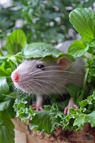 Домашние крысы, доказывающие, что они ничем не хуже других питомцев
