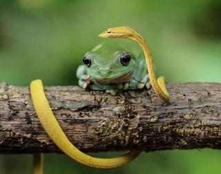 Удивительные снимки лягушек индонезийского фотографа Танто Йенсена