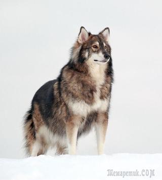 20 необычных гибридов собак, которые доказывают, что мешанные собаки могут быть симпатичными