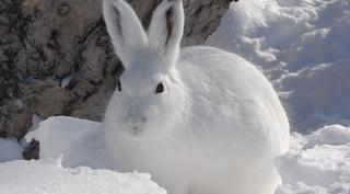 Зимняя охота на зайцев троплением по снегу